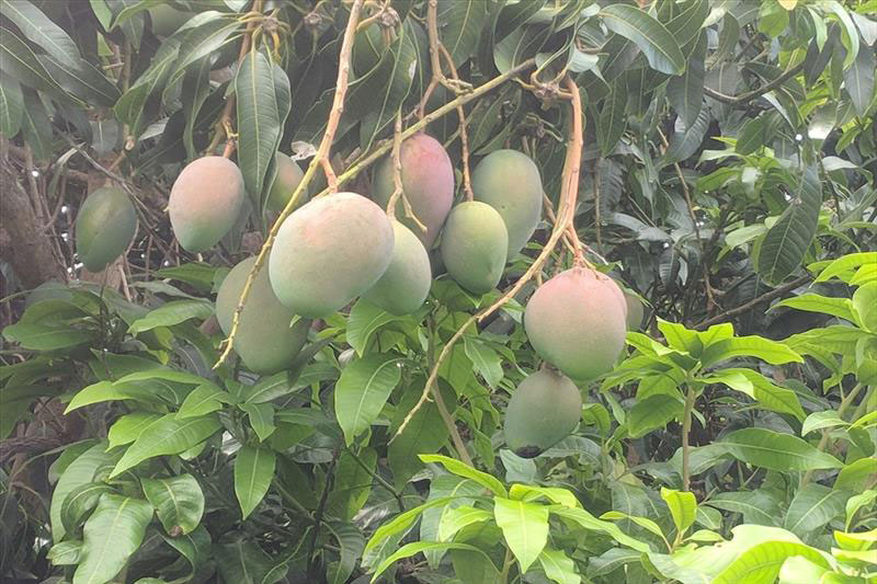 https://beachandbluff.com/wp-content/uploads/2018/10/mangoes.jpg